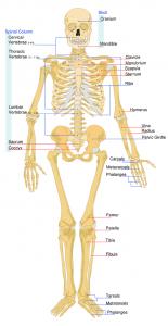 squelette, os et fracture
